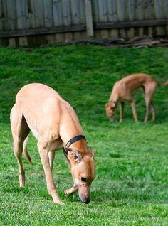 "Greyhound ""Deer"" Grazing"