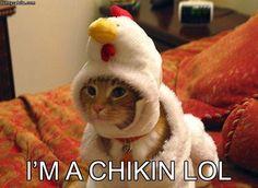 Chicken cat #Funny #Cats
