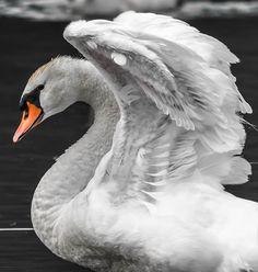 ✯ Mute Swan - Great Shot!