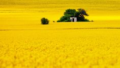 agriculture, Bulgaria, field, landscape, rapeseed, rural, spring