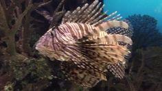 Wait for it... #majestic #lionfish