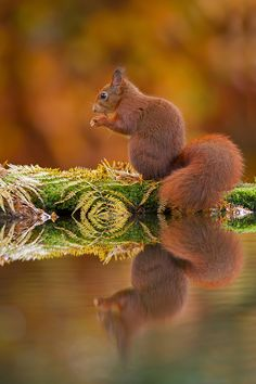 Eekhoorn spiegeling