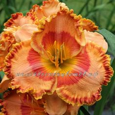 Image result for 'Citrus Ferris Wheel' daylily