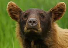 Is it a dog, is it a deer, is it a moose? No it is a cinnamon coloured Black Bear. (In the wild...)