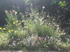 Eind augustus. Mijn tuin bloeit van het vroege voorjaar tot het late najaar. Vooral nectar- en waardplanten. Dus planten met een functie voor de natuur.