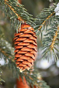 pine cones & evergreens