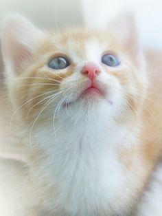 White and yellow gold kitten. Kitten. Blue-eyed.