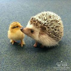 The mother usually give birth between 3 to 5 baby hedgehog however, the size of the litter can range from 1 to The baby hedgehog normally stay in their mom's side or in the nest most of the time Hedgehog Pet, Cute Hedgehog, Cute Baby Animals, Animals And Pets, Funny Animals, Animal Babies, Reptile Cage, Reptile Enclosure, Tier Fotos