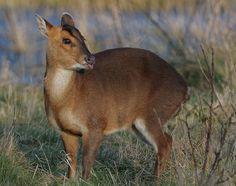 cheeky muntjac deer