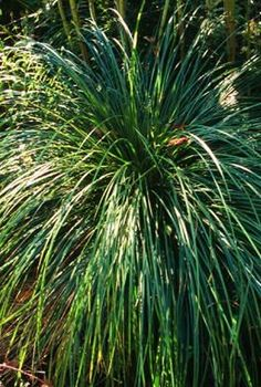 Carex stricta Tussock Sedge from Forrest Keeling