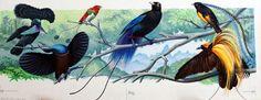 Birds of Paradise artwork by Bernard Long.