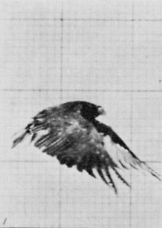 (1880s) Falcon Flying