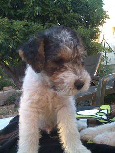 Fox terrier - ghost 1 mois