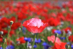Coquelicot, fleur, bourgeon, pétales, tige, plante, rouges, roses, couleurs vives, bleu, pré, champ, chaleur de l'été wallpaper
