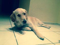 Merle Golden Retriever | Pawshake