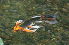 Pond fish such as Japanese Koi fish, butterfly Koi play an important role in the nitrogen cycle of an ecosystem pond. Learn more! Aquascaping, Beautiful Fish, Beautiful Butterflies, Butterfly Koi, Nitrogen Cycle, Goldfish Pond, Japanese Koi, Japanese Dragon, Ponds Backyard