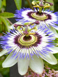 Passion flowers!  Grew this once.  So dramatic.  Hard to find but well worth it.