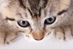 Eyes Of A Cat Stock Photos / Pictures / Photography / Royalty Free Images at Inmagine