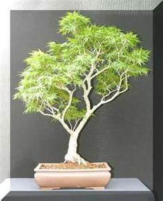 bonsai marijuana plants ( Bonsai cannabis ..