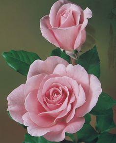 JP: Sweet Surrender (Tiffany) - Shimmering Silvery Pink Hybrid Tea Roses