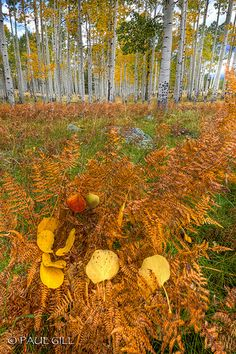 Aspen Forest - San Francisco Peaks, Arizona