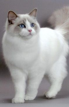 Ragdoll. They're given their names because of their tendency to go limp like a rag doll when held.