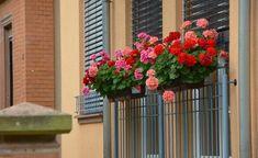 Dejte muškátem tuto jednu věc a budou zaplaveny květinami: Perfektní stimulátor po kterém kladeny jeden květ za druhým! Window Box Plants, Window Box Flowers, Balcony Plants, Flower Boxes, Balcony Shade, Full Sun Flowers, Amazing Flowers, Shade Flowers, Geranium Vivace