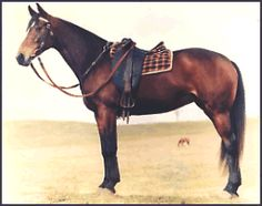 Asutralian Stock Horse