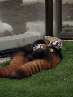 じゃれじゃれ母娘 1 : レッサーパンダとKOOL