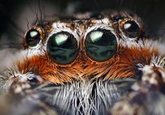 Anterior Median Eyes of a Male Platycryptus undatus Jumping Spider - By Thomas Shahan Wild Animals Photography, Insect Photography, Spider Queen, Amazing Nature Photos, Giant Spider, Jumping Spider, Fotografia Macro, Male Eyes, Amazing Spider