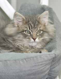 Norwegian forest cat female playing around in the snow in sweden. She was around years old when the video was taken. Kittens Cutest, Cats And Kittens, Cute Cats, Kitty Cats, Siberian Forest Cat, Siberian Cat, Animals And Pets, Cute Animals, Chat Maine Coon