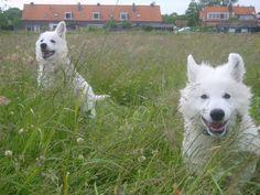 White Swiss Shepherd Dog puppies - long hair