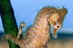 Seahorse - by Paul Zahl #seahorse