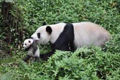 "Nat Geo Wild is to give audiences a glimpse into the challenges of breeding the iconic, critically endangered giant panda in one-hour special ""Giant Pandas"" Panda 3d, Panda Love, Panda Bears, Animals And Pets, Baby Animals, Cute Animals, Wild Animals, Beautiful Creatures, Animals Beautiful"