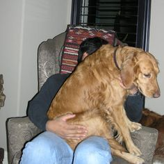 They really are great big lap dogs!
