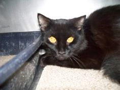 Midnight is an adoptable Domestic Short Hair-Black Cat in Shelbyville, IN. Thanks for supporting Petfinder.com and our homeless pets at our shelter.  Midnight is one of three one-year-old solid black ...