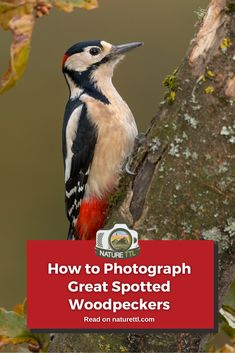 In this bird photography tutorial learn how to photograph one of the UK's most colourful species, the great-spotted woodpecker. Wildlife Photography Tips, Photography Basics, Photography Tips For Beginners, Underwater Photography, Photography Tutorials, Cool Pictures, Cool Photos, Spotted Woodpecker, Woodpeckers