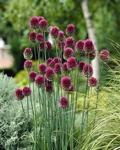 """Allium """"Drumstick""""...wunderschön..evtl.mit weißen Sträuchern/Blumen im Hintergrund"""