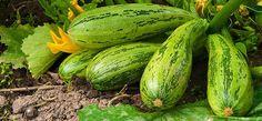 Cukety jsou vděčnou plodovou zeleninou. Nemají velké nároky na pěstování, přitom plodí bohatě a vytrvale. Mladé cuketky různých barev i tvarů mají všestranné uplatnění v teplé i studené kuchyni. Pěstování se vyplatí. Cucumber, Zucchini, Vegetables, Fruit, Flowers, Trees, Gardens, Nature, Compost