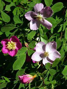 Metsäruusu, Rosa majalis - Puut ja pensaat - LuontoPortti