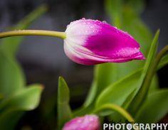 Pink Tulip    © Copyright Ricky L.Jones Photography 1995-2013 All rights reserved.