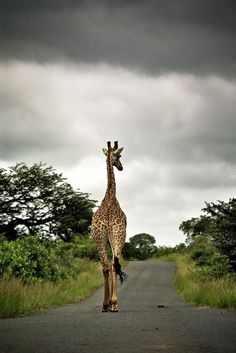 Wish I had a pet giraffe :)