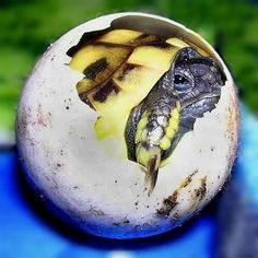 A Testudo Hermanni Boetgerri emerging from Egg
