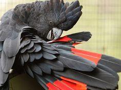玄関前に超高価な鳥がいた!ちょっと怖い「アカオクロオウム」 - NAVER まとめ