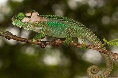 Bradypodion damaranum - Knysna Dwarf Chameleon by Tyrone Ping Reptiles, Lizards, Snakes, Knysna, Dwarf, Chameleons, Wildlife, Animals, Lovers