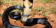 king cobra-3