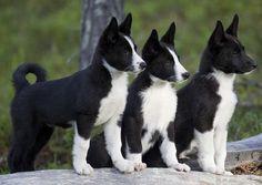 Pretty trio of black and white Karelian bear dog puppies. Beautiful Dogs, Animals Beautiful, Cute Animals, Beautiful Creatures, Cute Puppies, Cute Dogs, Dogs And Puppies, Bear Puppy, Bear Dogs