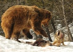 All sizes | Wolf Challenges Feeding Bear (wolf and bear), via Flickr.