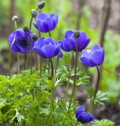 Anemone coronaria 'Mr Fokker' I had these in one of my gardens. I planted them next to a lime green ornamental grass. Fabulous Flowers & Magnificient Plants,flores,flores y algo mas! Amazing Flowers, Wild Flowers, Beautiful Flowers, Simple Flowers, Exotic Flowers, Colorful Flowers, Planting Bulbs, Planting Flowers, Flowers Garden