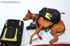 Rufus the Dog Goes on Epic Adventures Whilst Sleeping